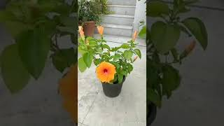 How to take care of Hibiscus plant...