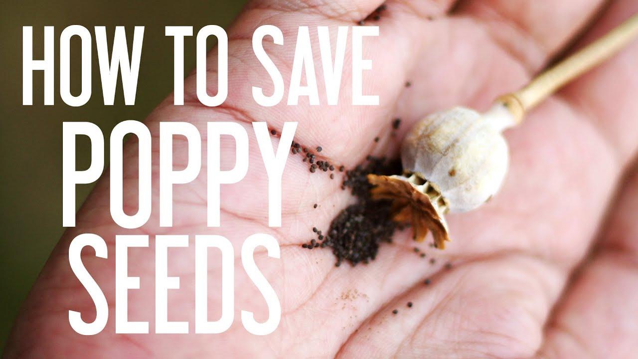 How to save poppy seeds youtube mightylinksfo