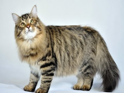 Siberian Cat Breed | Siberian Breed of Cat, a Long Known Variety of Cat