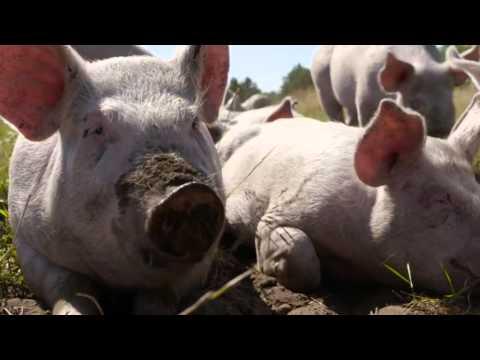 Friland - Hedemarkens Frilandsgris