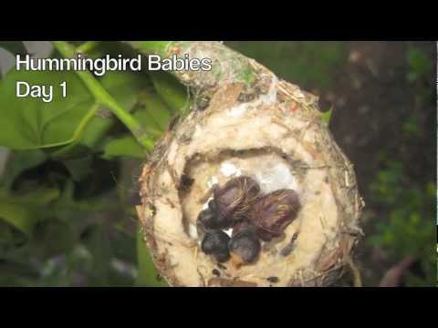 Hummingbird Babies Birth to Fledging the Nest ~ First Flight ~ Amazing!