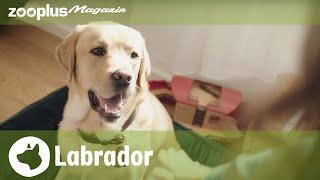 Labrador Retriever: Showline vs Arbeitslinie, Erziehung & Charakter| zooplus.de