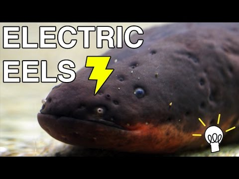 Query Corner: How do electric eels produce electricity?