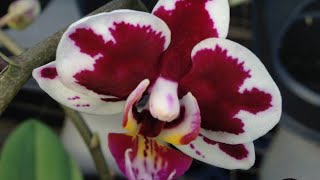 Phalaenopsis identificação