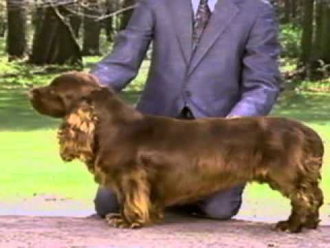 Sussex Spaniel - Chapter 3