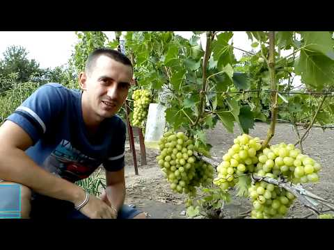 Защита винограда от ОСЫ