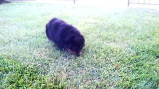"Commander N Chief Rottweilers ""a"" Litter Breeding Of Zoey 4 Weeks Old Part 5"