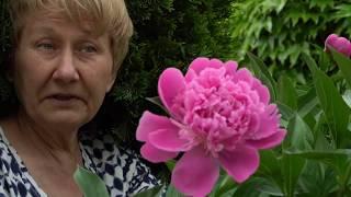 Пион наших мам и бабушек / Сад Ворошиловой