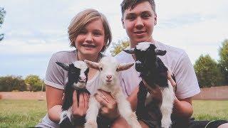 goats on trampoline