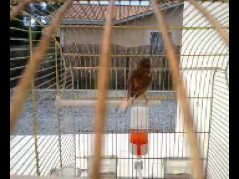 Chant d une femelle canaris