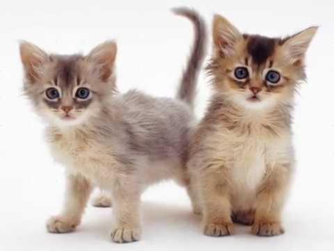 somali cat kitten