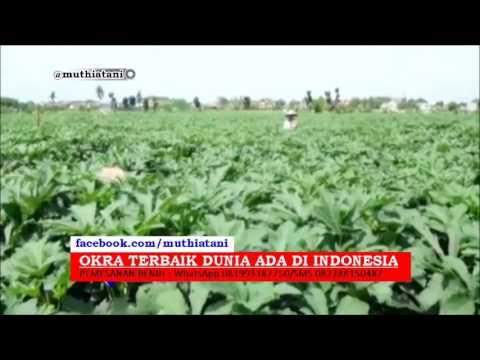 Okra Terbaik Dunia Ada di Indonesia