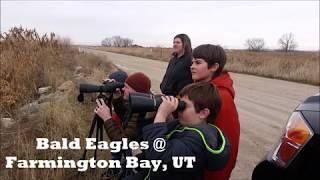 Bald Eagles At Farmington Bay