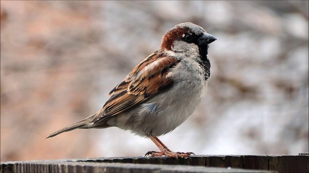 House sparrow birdjam for android