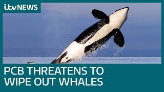 PCB chemical pollution threatens to wipe out killer whales | ITV News