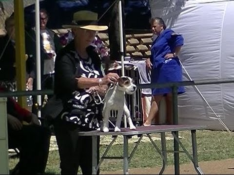 Parson Russell Terrier Dog Show in Canberra 2016 A