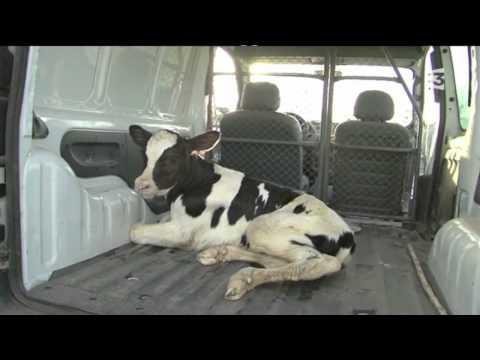 France 3 - Lait : séparation d'une vache et de son veau
