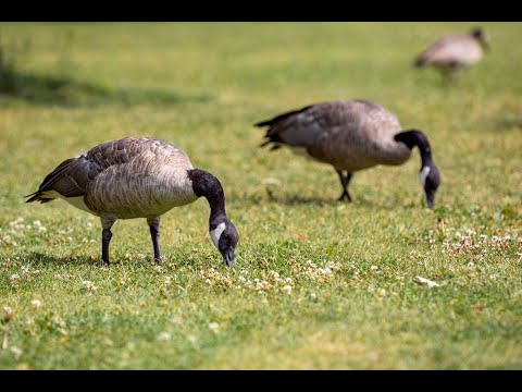 Vancouver residents told to avoid feeding Canada geese, report nests as flocks grow