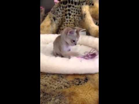 Deciding which Singapura Kitten to Get Pt. 1 (Under 1 lb) - (Smallest Cat Breed!)