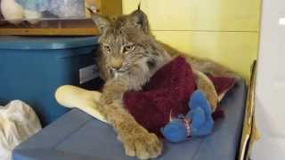 Max Canada Lynx & Blue