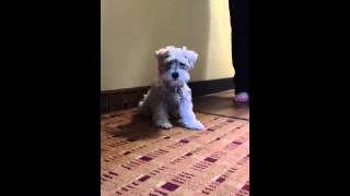 Schnauzer Puppy In A Pearl Necklace