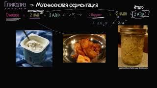 Молочнокислое брожение (видео 11) | Клеточное дыхание | Биология