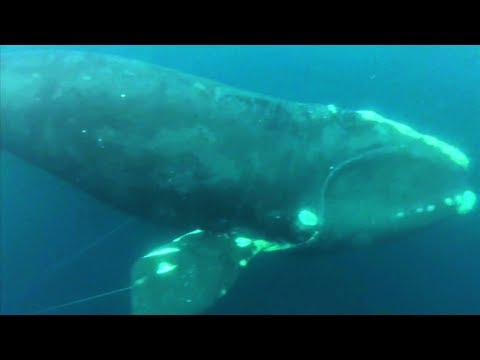 Northern Right Whale rescued near Virginia coast