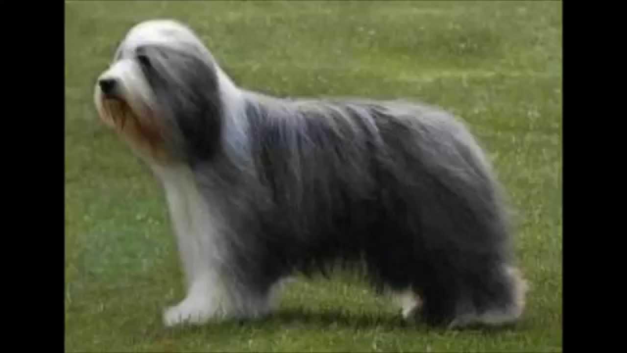 el perro mas del mundo el perro mas caro del mundo