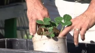 How Do I Plant A Hanging Strawberry Pot? : How To Grow Strawberries