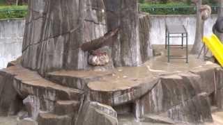 福岡市動物園の冬の風物詩「サル団子」です。 寒くなると、ニホンザルが...