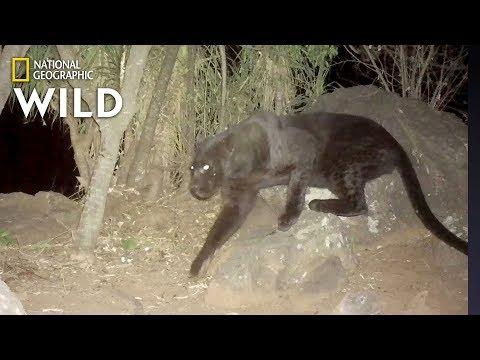 El enfado de los kenianos por la historia de las fotos de un leopardo negro