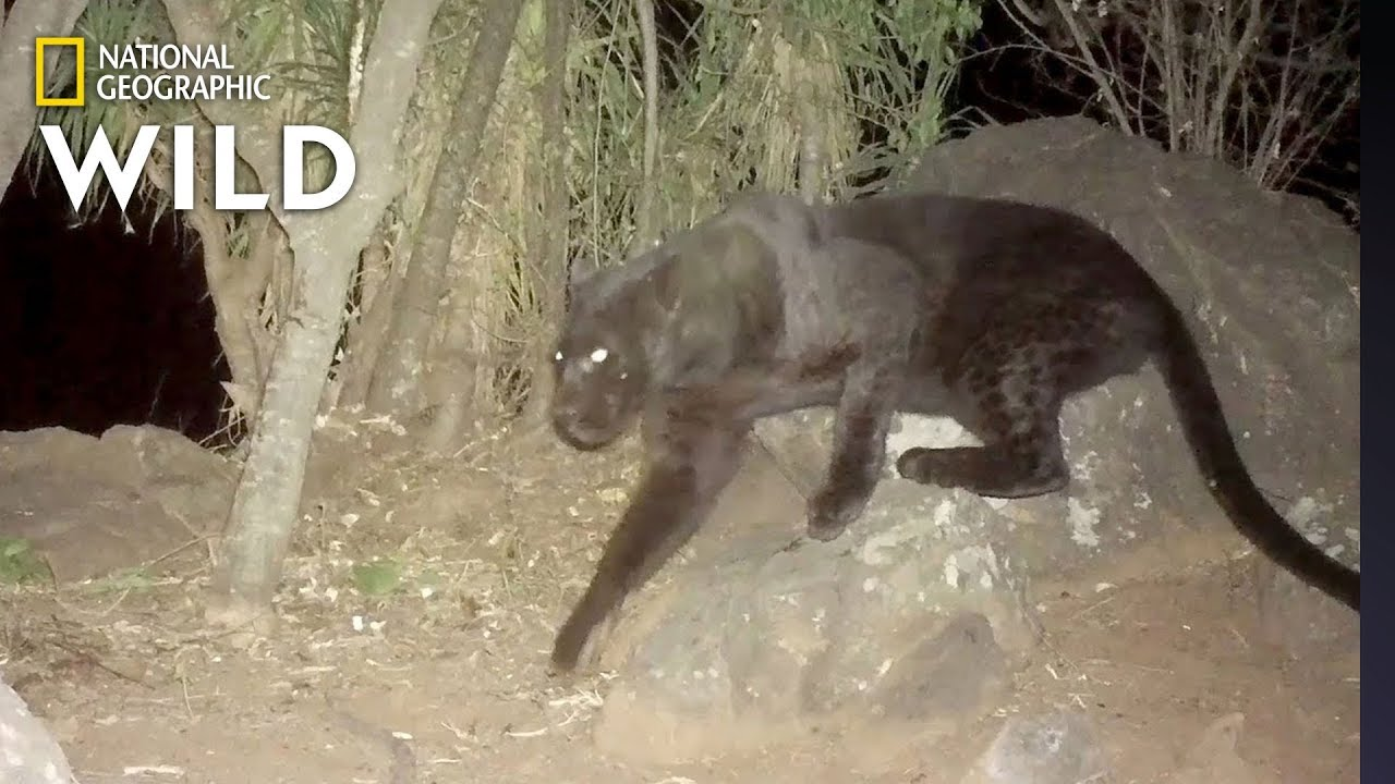 Remote Cameras Confirm Rare Black Leopards Living in Kenya | Nat Geo Wild