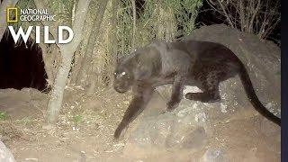 Remote Cameras Confirm Rare Black Leopards Living in Kenya | Nat Geo Wild