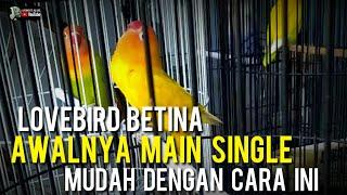 Download lagu MENGATASI LOVEBIRD BETINA SUSAH JALAN LAPANGAN