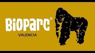Gorilas - Comportamiento sexual y rituales de apareamiento (Bioparc Valencia)