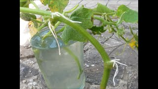 Огород без хлопот. Размножаем огурцы пасынками .(Обычно, как вы знаете, огурцы размножают семенами, но кроме этого способа, вполне можно это делать отводками..., 2015-07-26T06:57:57.000Z)