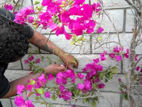 Bougainvillia Attaching To A Wall Youtube