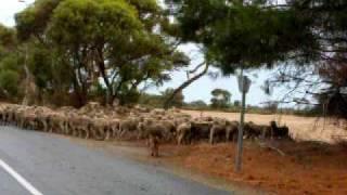 Traversée d'un troupeau de moutons !
