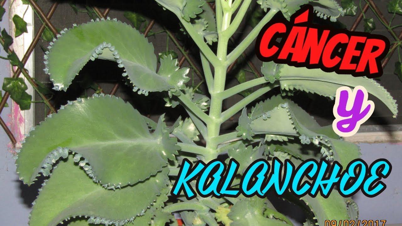 Pruebas cient ficas de que la kalanchoe cura el c ncer for Kalanchoe cura