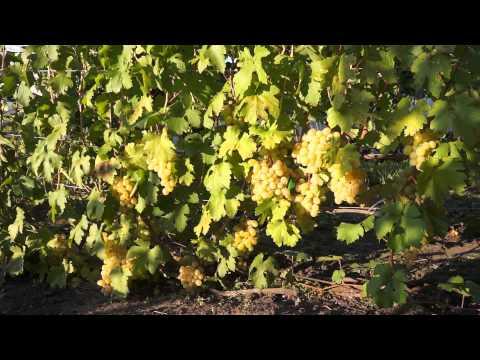 Виноград сорт Кеша (сентябрь)