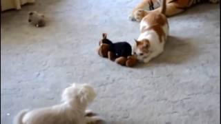 Кошки против собак)))Приколы