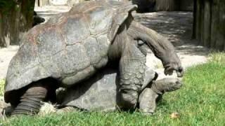 GIANT TURTLES HAVING SEX...SO DAMM FUNNY !!!