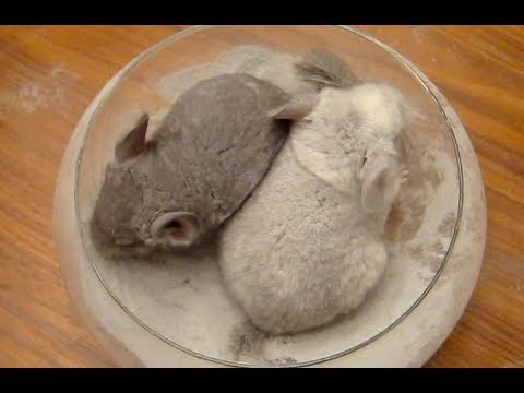Chinchilla Dust Bath Baby39s First Time Youtube