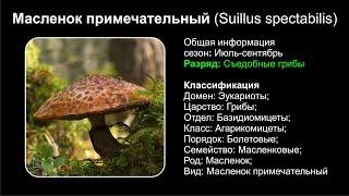 Масленок примечательный Suillus Spectabilis