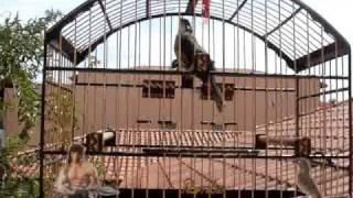 trinca ferro - Rambo tetra campeão brasileiro
