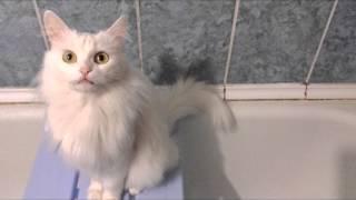 кошка лиза-альбинос