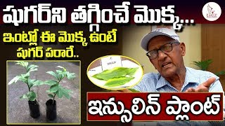 ఈ మొక్క ఇంట్లో ఉంటే షుగర్ పరార్ ...| Insulin Plant Medicinal Benefits | Eagle Media Works