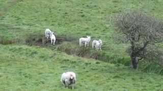 Spring Lambs In Islandmagee, Northern Ireland