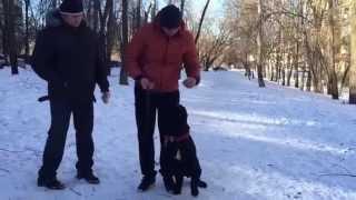 Дрессировка щенка Кане Корсо. Послушание и воспитание.(Полная версия)