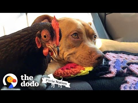 These Pit Bulls Befriend Everyone! | The Dodo Pittie Nation